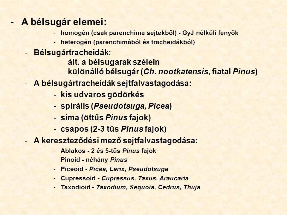A bélsugár elemei: homogén (csak parenchima sejtekből) - GyJ nélküli fenyők. heterogén (parenchimából és tracheidákból)