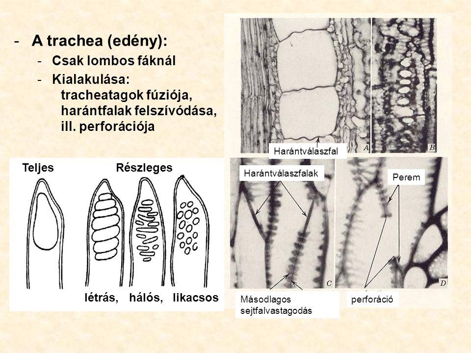 A trachea (edény): Csak lombos fáknál