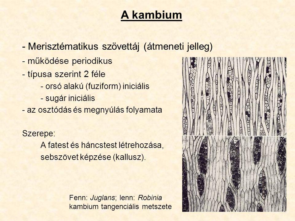A kambium - Merisztématikus szövettáj (átmeneti jelleg)