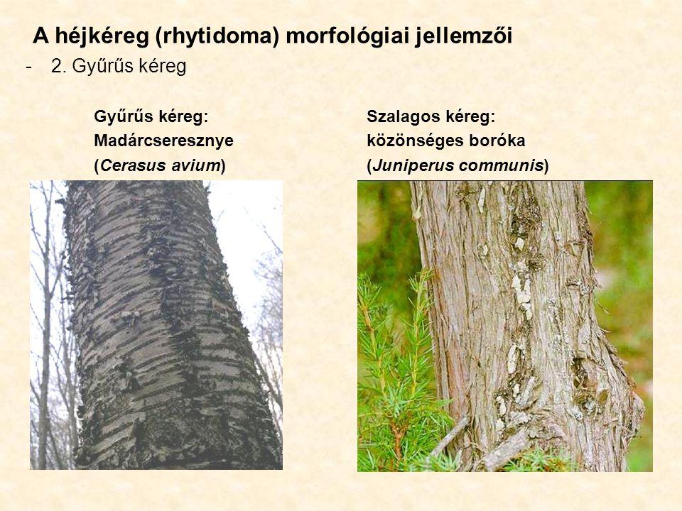 A héjkéreg (rhytidoma) morfológiai jellemzői