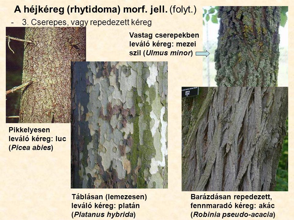 A héjkéreg (rhytidoma) morf. jell. (folyt.)