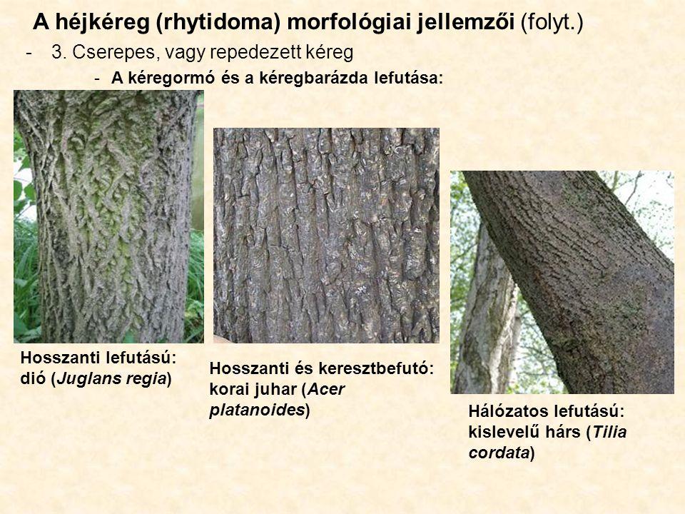 A héjkéreg (rhytidoma) morfológiai jellemzői (folyt.)