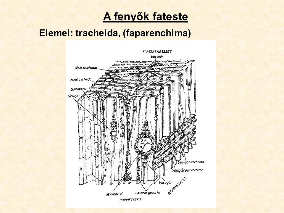 A fenyők fateste Elemei: tracheida, (faparenchima)