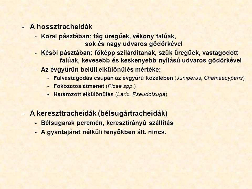 A kereszttracheidák (bélsugártracheidák)