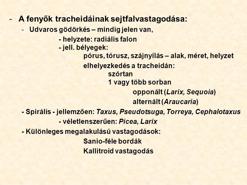 A fenyők tracheidáinak sejtfalvastagodása: