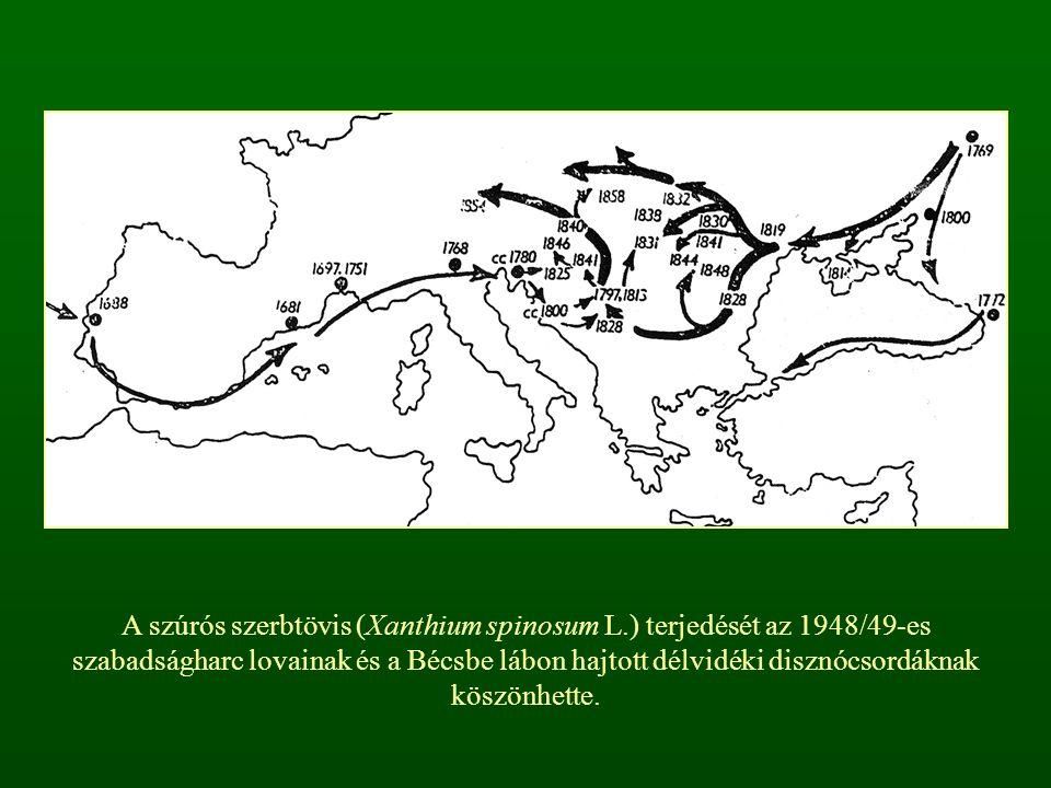 A szúrós szerbtövis (Xanthium spinosum L