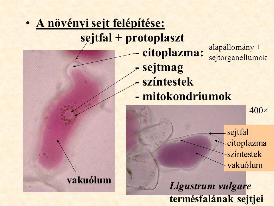 A növényi sejt felépítése:. sejtfal + protoplaszt. - citoplazma: