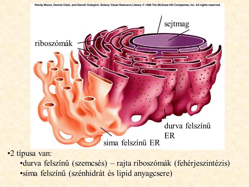 sejtmag riboszómák. durva felszínű ER. sima felszínű ER. 2 típusa van: durva felszínű (szemcsés) – rajta riboszómák (fehérjeszintézis)