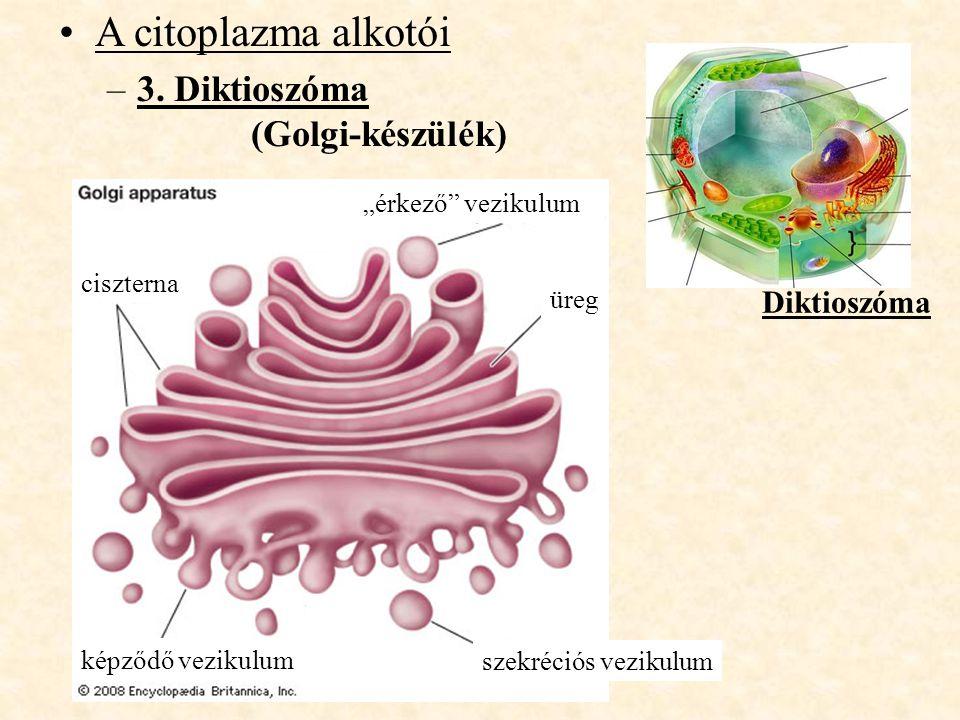 A citoplazma alkotói 3. Diktioszóma (Golgi-készülék) Diktioszóma