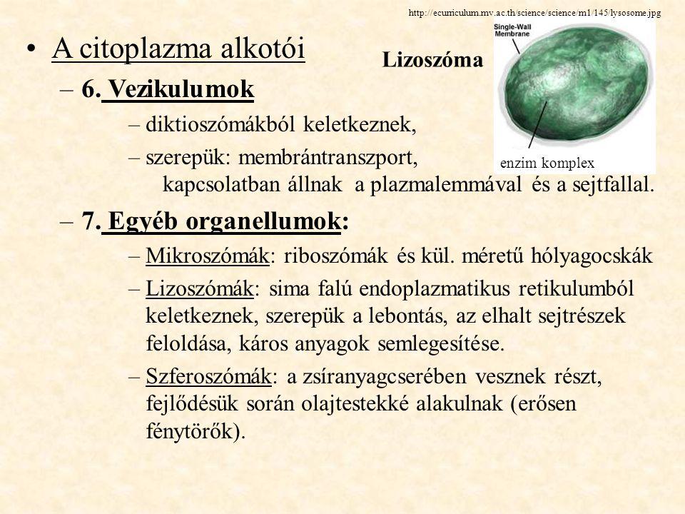 A citoplazma alkotói 6. Vezikulumok 7. Egyéb organellumok: Lizoszóma