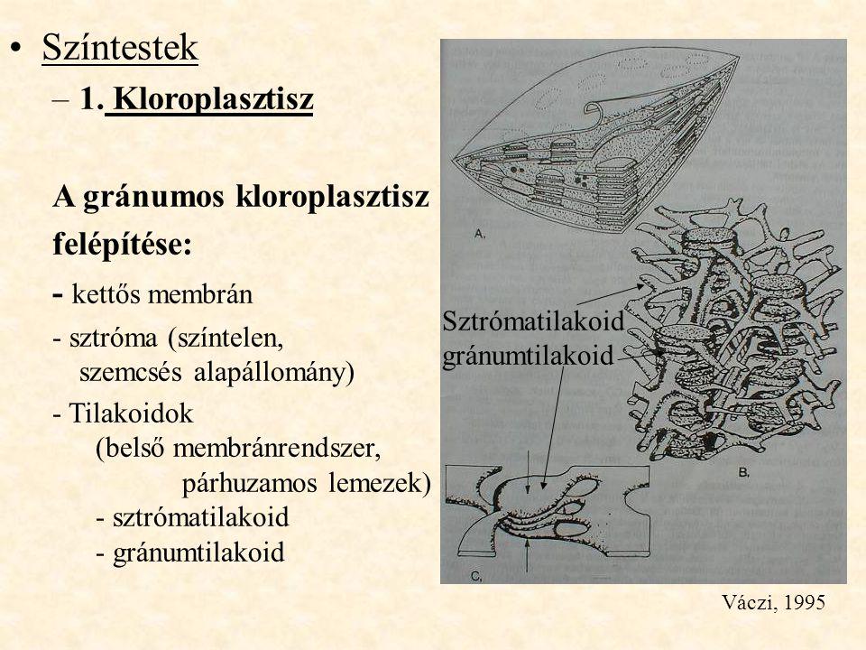 Színtestek 1. Kloroplasztisz A gránumos kloroplasztisz felépítése: