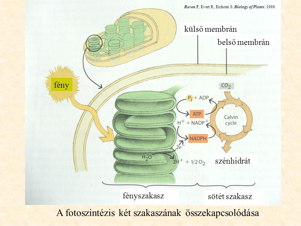 A fotoszintézis két szakaszának összekapcsolódása