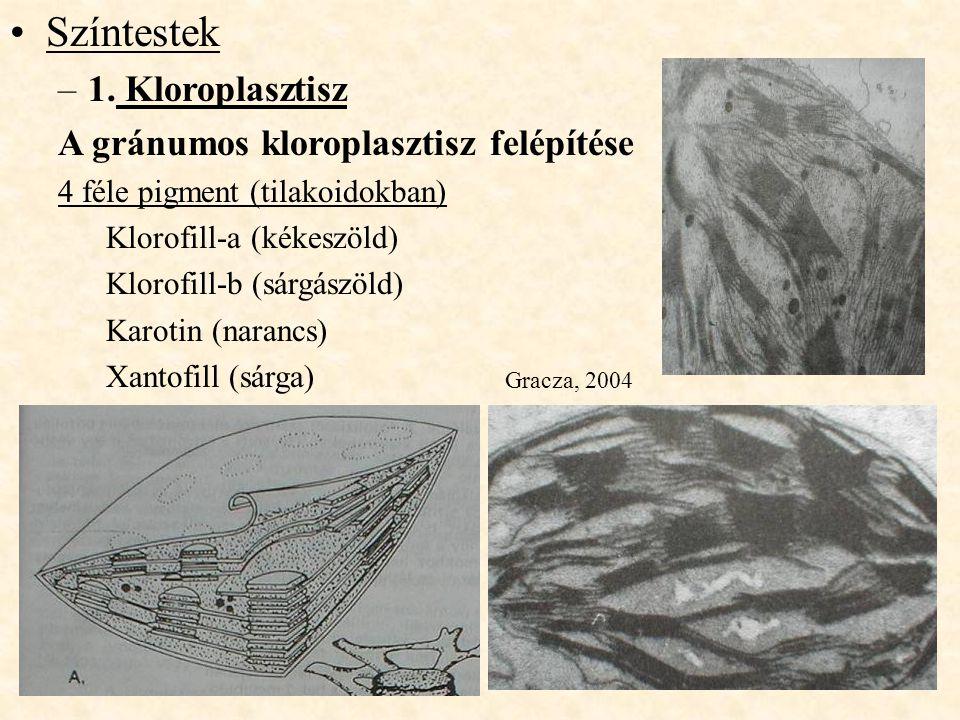 Színtestek 1. Kloroplasztisz A gránumos kloroplasztisz felépítése
