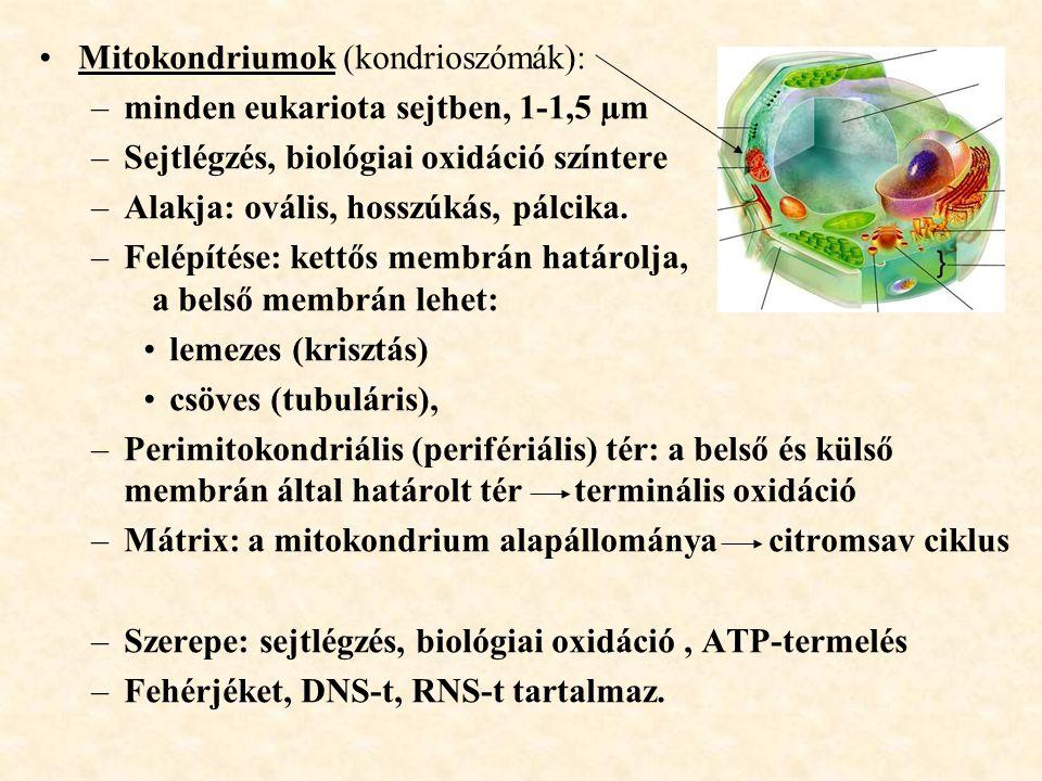 Mitokondriumok (kondrioszómák):