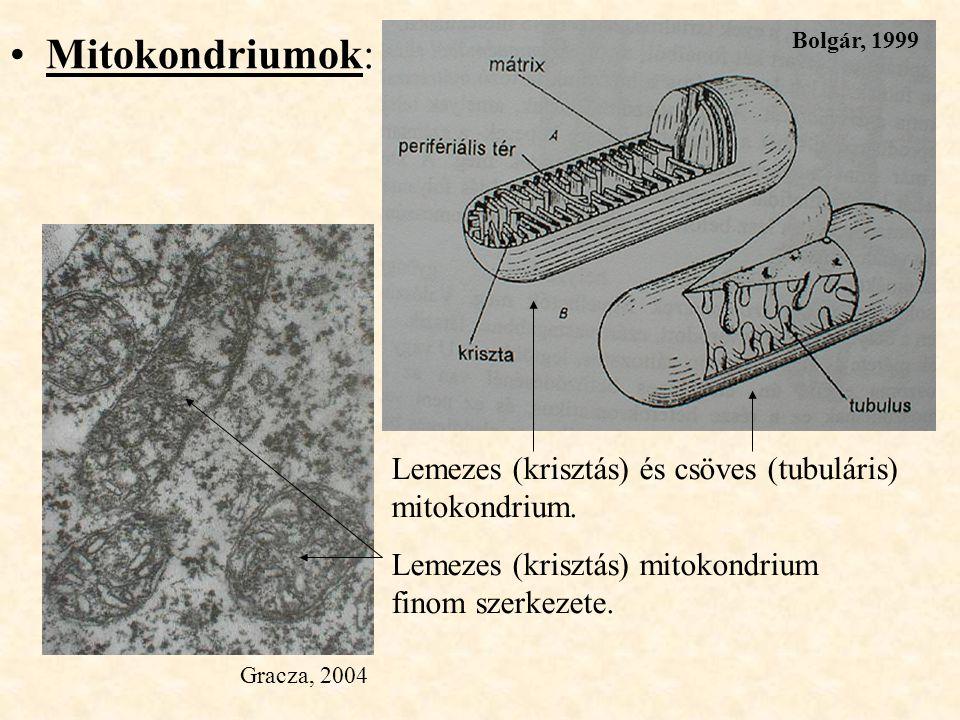 Mitokondriumok: Lemezes (krisztás) és csöves (tubuláris) mitokondrium.