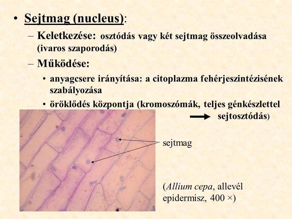 Sejtmag (nucleus): Keletkezése: osztódás vagy két sejtmag összeolvadása (ivaros szaporodás) Működése: