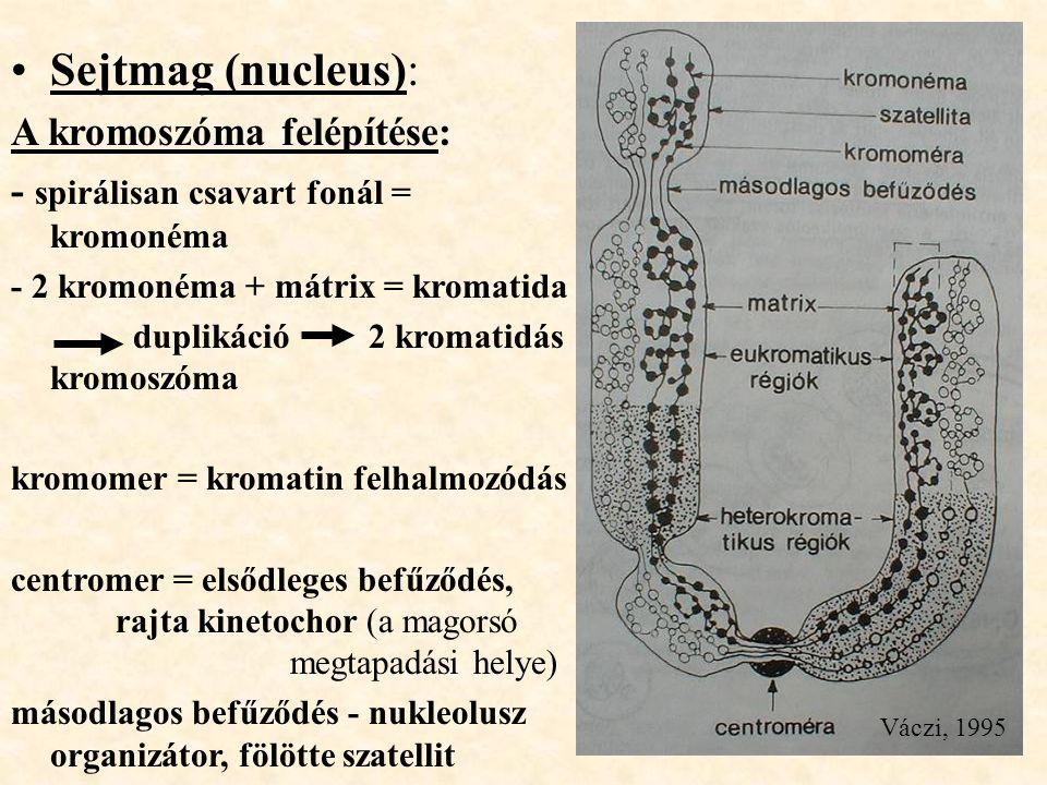 Sejtmag (nucleus): A kromoszóma felépítése: