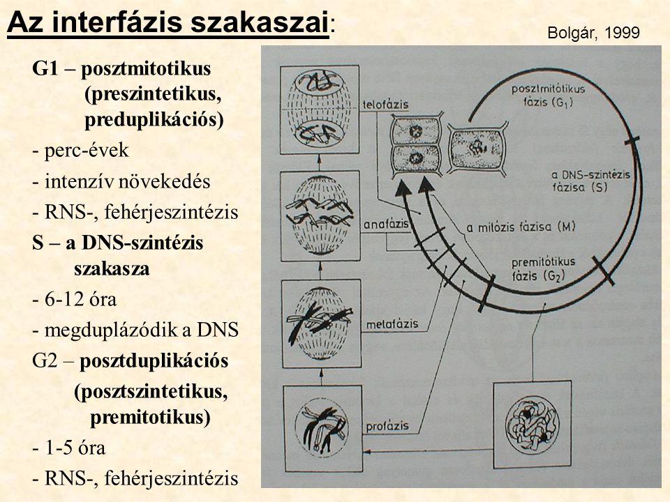 Az interfázis szakaszai: