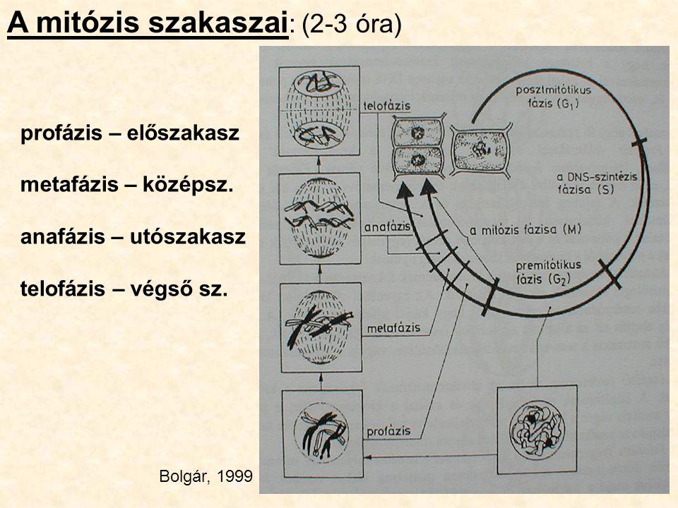 A mitózis szakaszai: (2-3 óra)