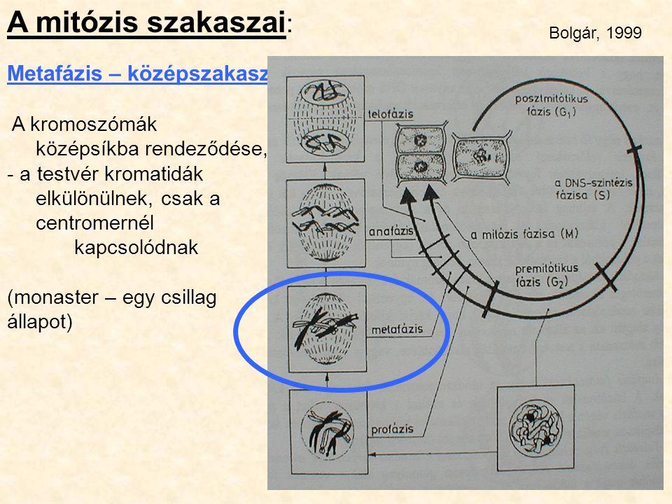 A mitózis szakaszai: Metafázis – középszakasz A kromoszómák