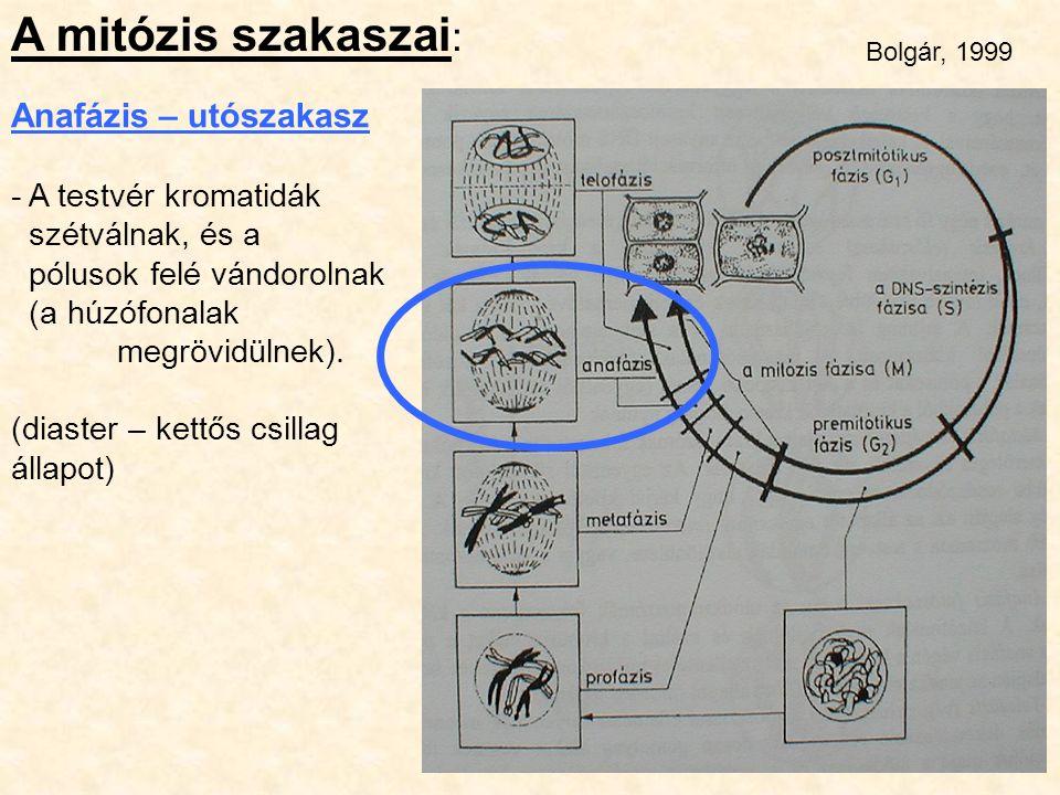 A mitózis szakaszai: Anafázis – utószakasz - A testvér kromatidák