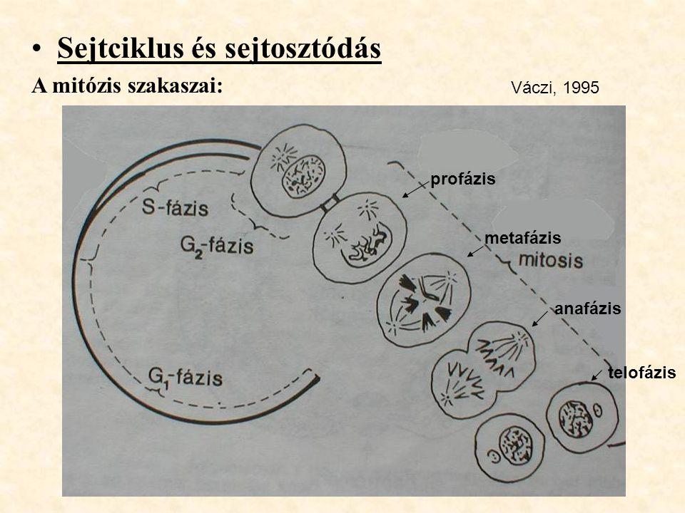 Sejtciklus és sejtosztódás