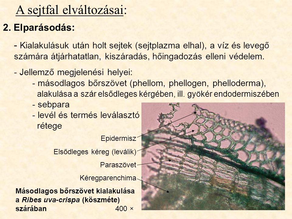 A sejtfal elváltozásai: