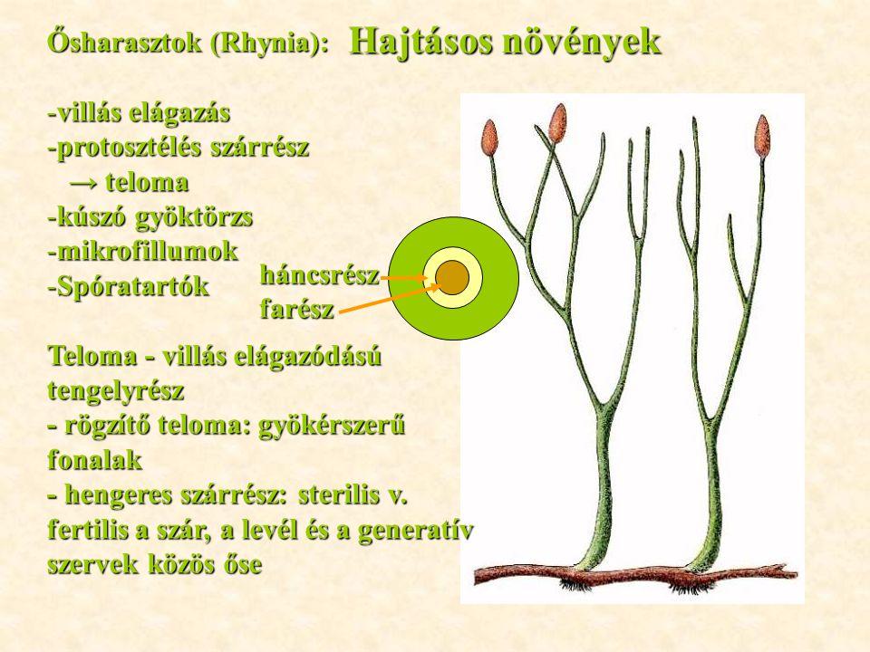 Hajtásos növények Ősharasztok (Rhynia): villás elágazás