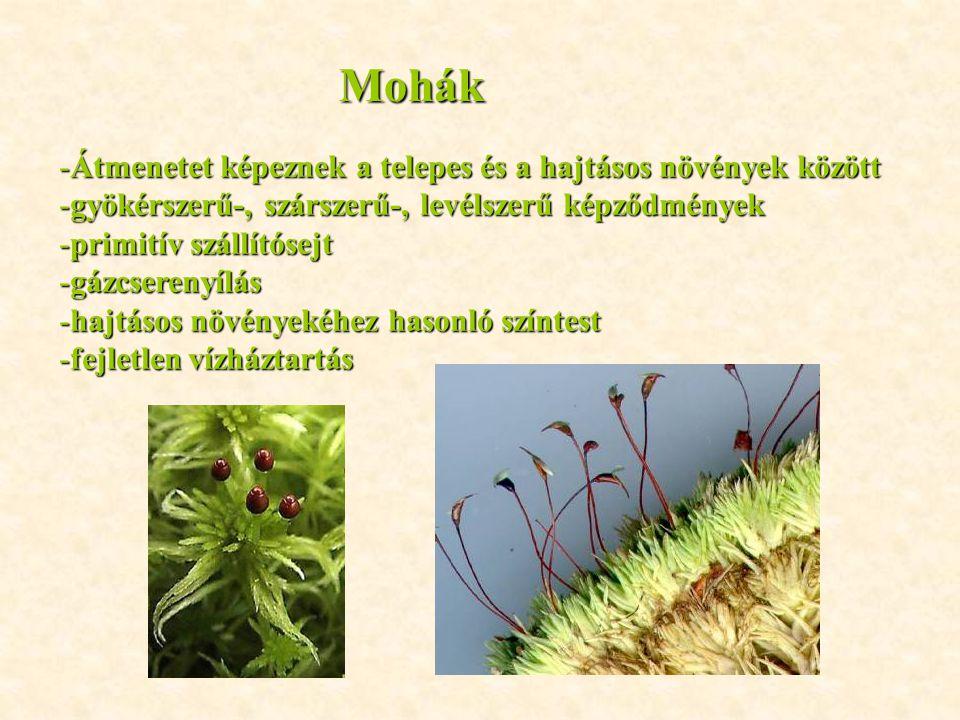 Mohák Átmenetet képeznek a telepes és a hajtásos növények között