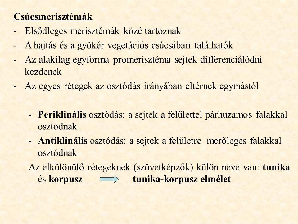 Csúcsmerisztémák Elsődleges merisztémák közé tartoznak. A hajtás és a gyökér vegetációs csúcsában találhatók.