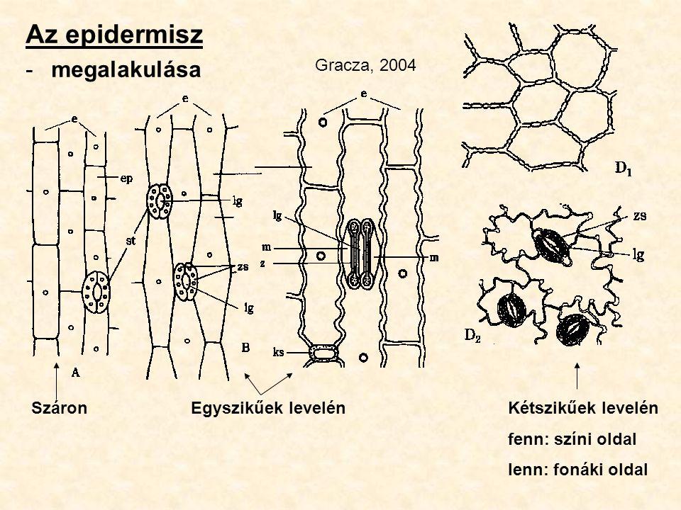 Az epidermisz megalakulása Gracza, 2004