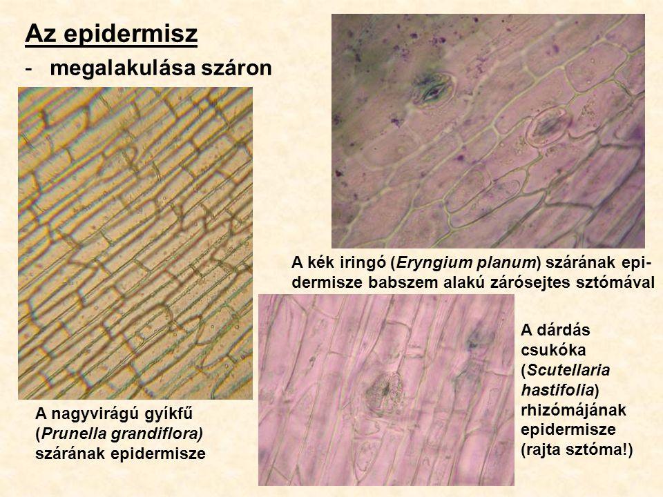 Az epidermisz megalakulása száron
