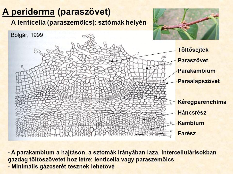 A periderma (paraszövet)