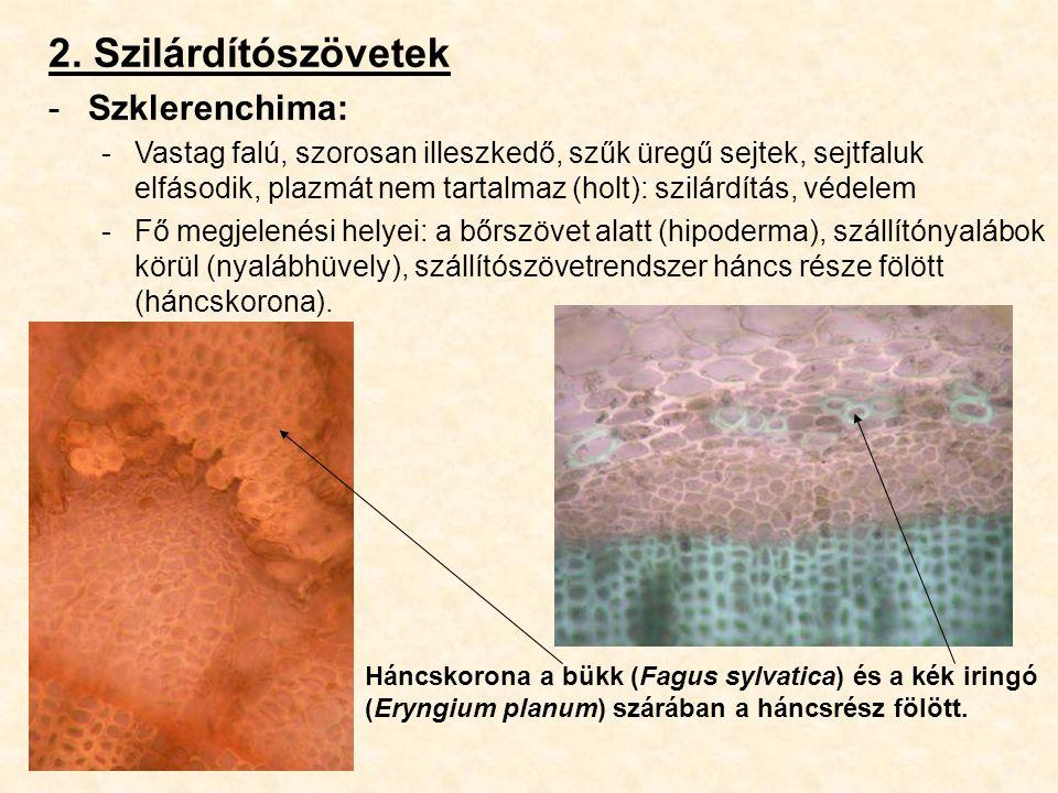 2. Szilárdítószövetek Szklerenchima: