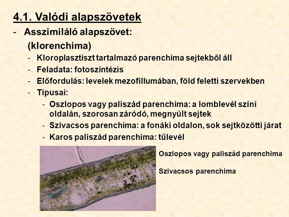 4.1. Valódi alapszövetek Asszimiláló alapszövet: (klorenchima)
