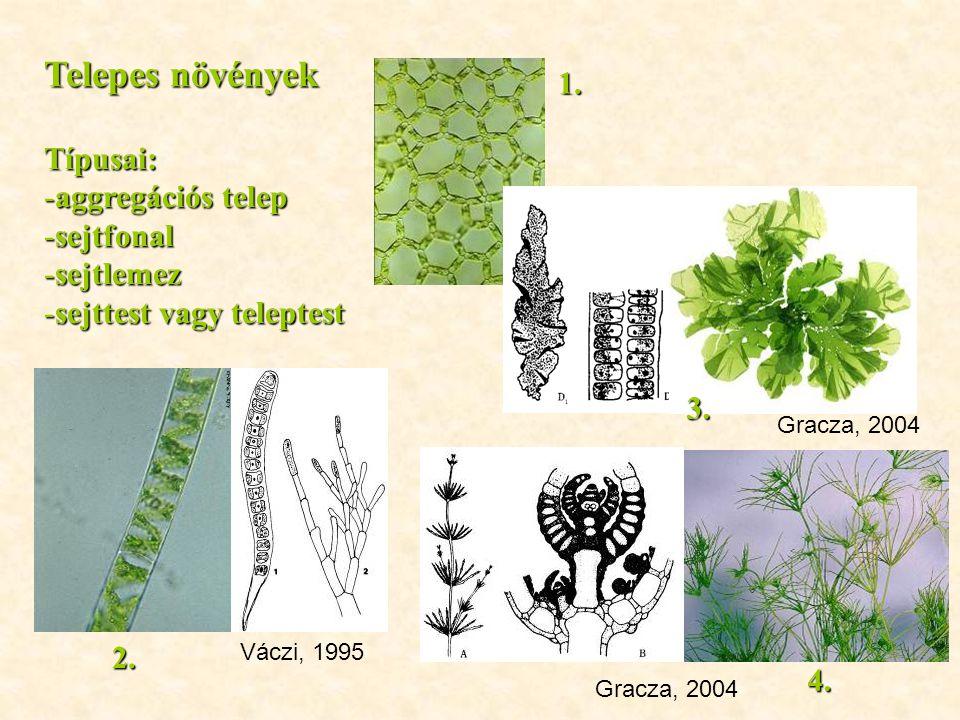Telepes növények 1. Típusai: aggregációs telep sejtfonal sejtlemez