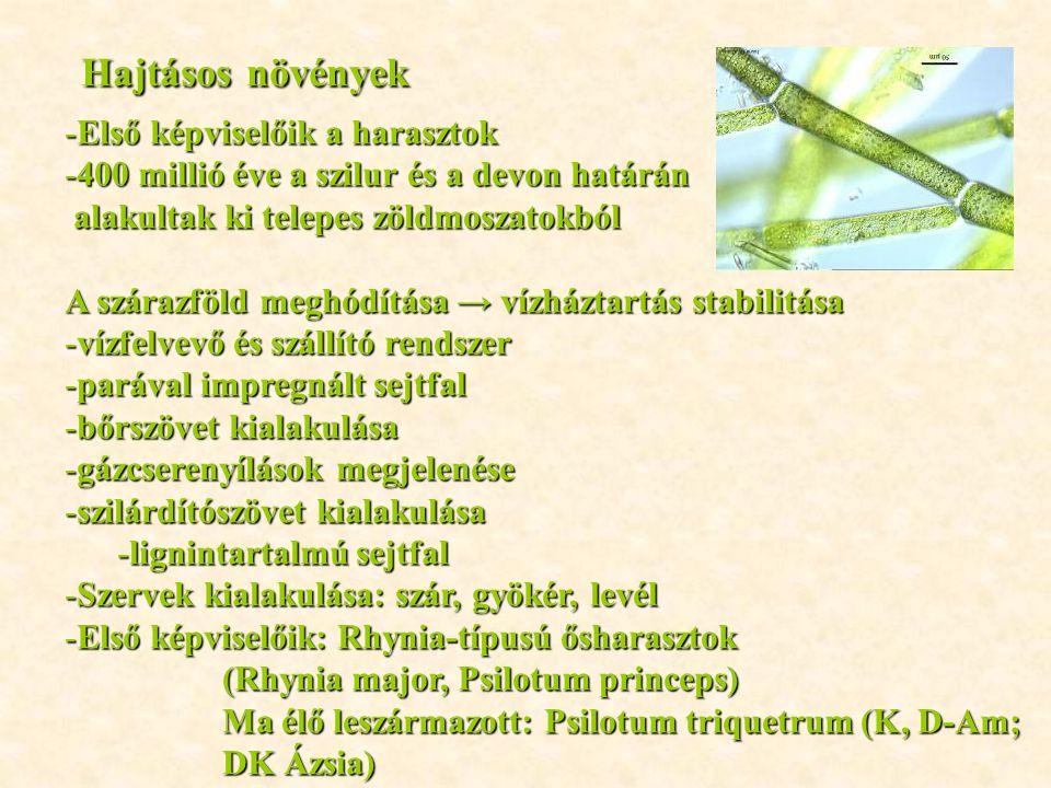 Hajtásos növények Első képviselőik a harasztok