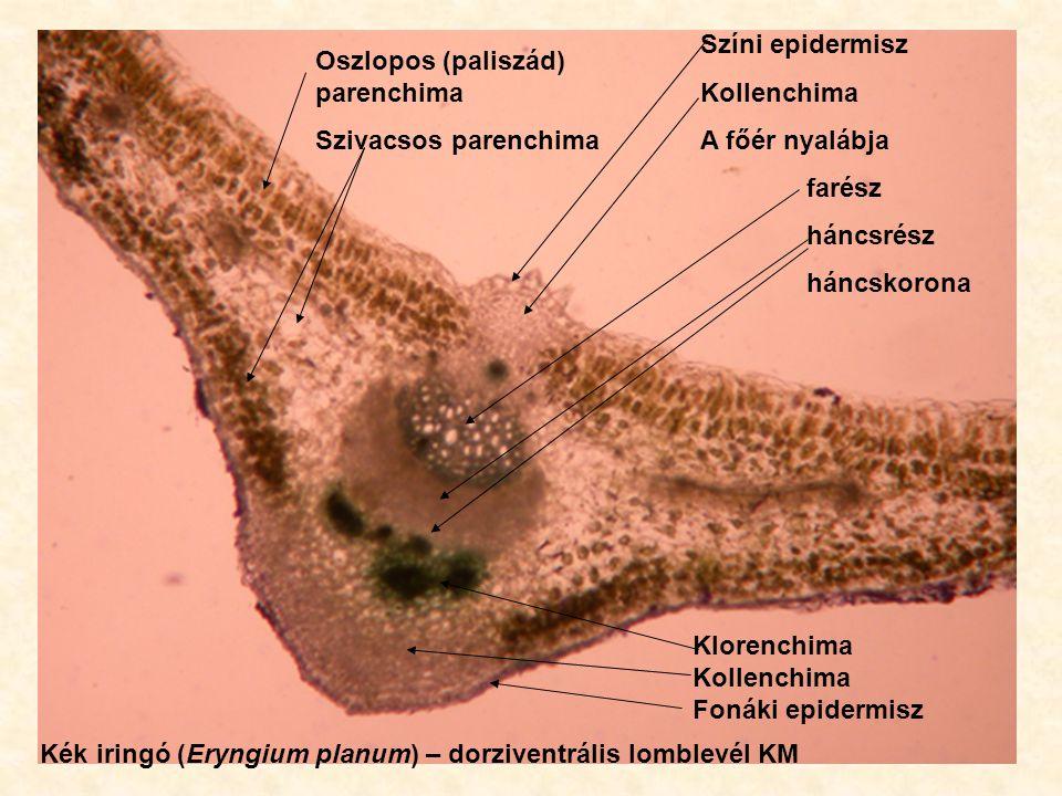 Színi epidermisz Kollenchima. A főér nyalábja. farész. háncsrész. háncskorona. Oszlopos (paliszád) parenchima.