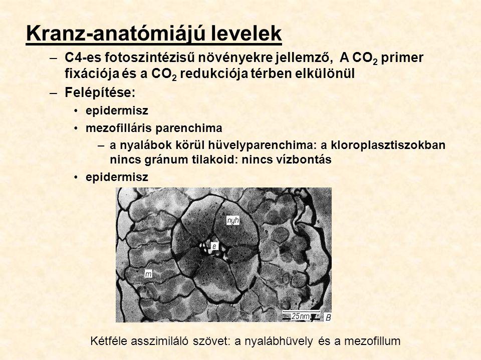 Kranz-anatómiájú levelek