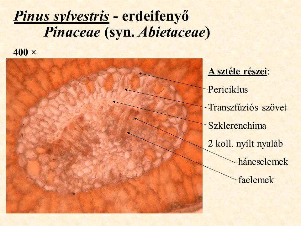 Pinus sylvestris - erdeifenyő Pinaceae (syn. Abietaceae)