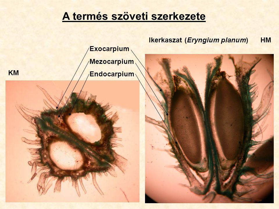 A termés szöveti szerkezete