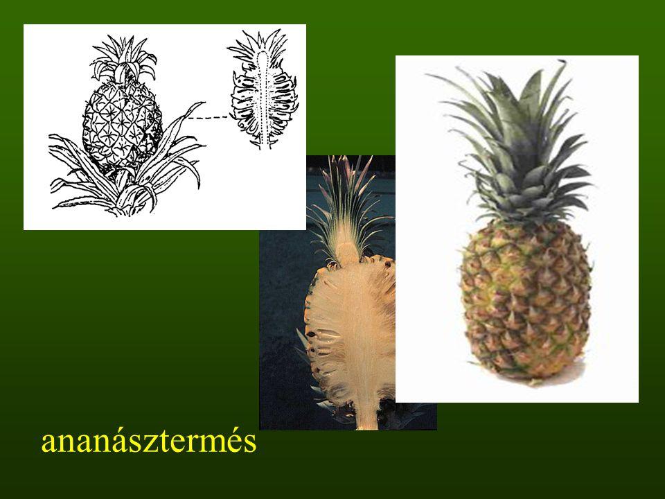 ananásztermés