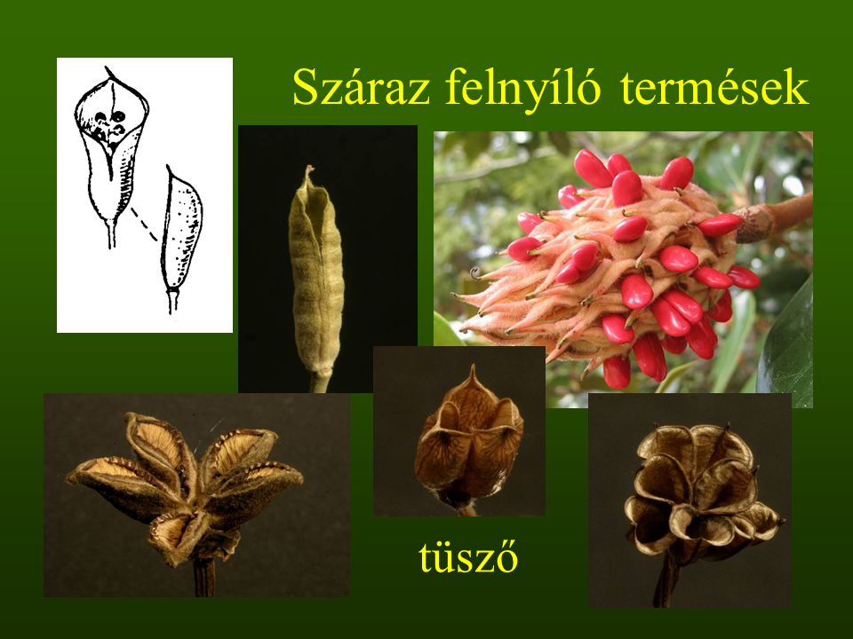 Száraz felnyíló termések