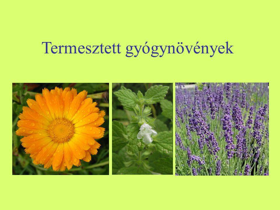Termesztett gyógynövények