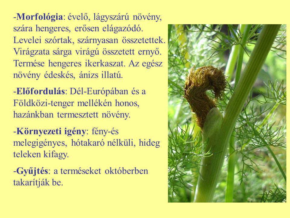-Morfológia: évelő, lágyszárú növény, szára hengeres, erősen elágazódó