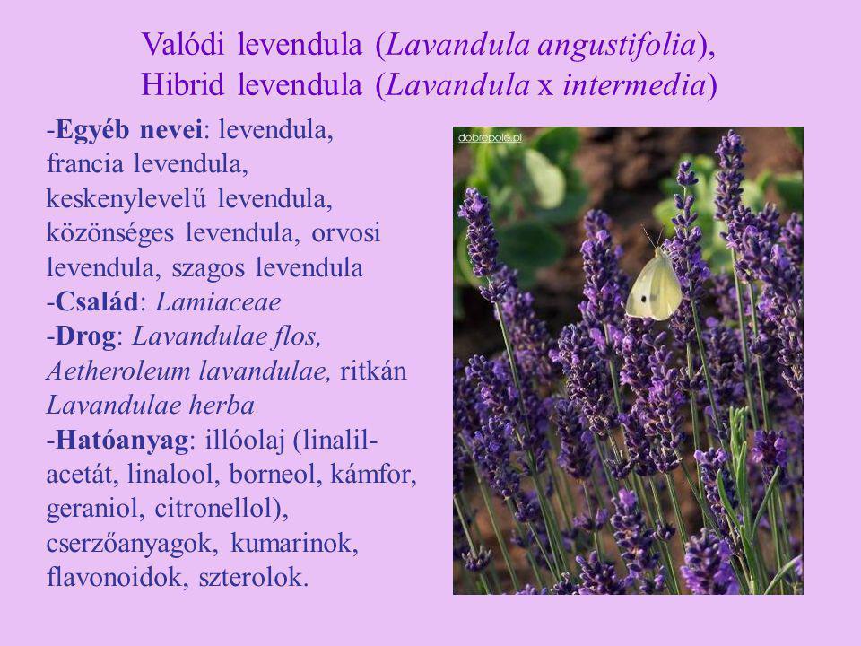 Valódi levendula (Lavandula angustifolia),
