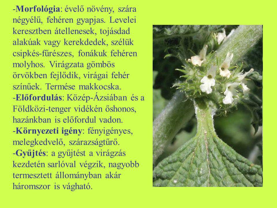 -Morfológia: évelő növény, szára négyélű, fehéren gyapjas