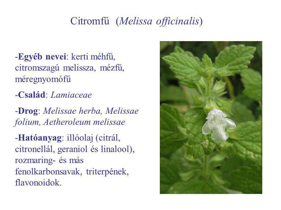 Citromfű (Melissa officinalis)