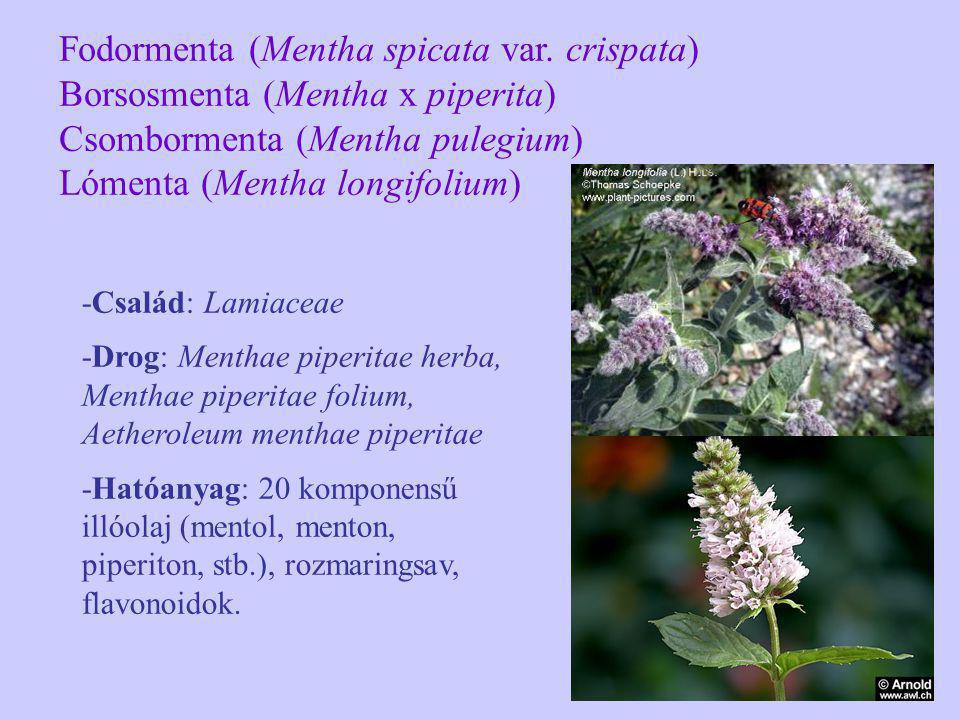 Fodormenta (Mentha spicata var. crispata)
