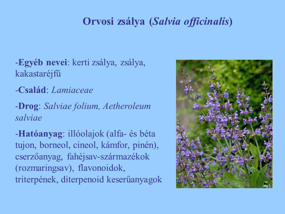 Orvosi zsálya (Salvia officinalis)